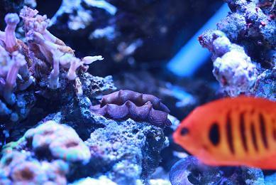 H23.1.30海水魚 003-1.JPG